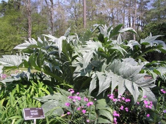 Bears Breech Acanthus Mollis Herselfs Plants