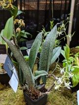 Psychopsis Mendenall 'Hildos' mottle leaves