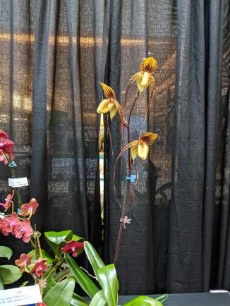 Yellow Paphiopedilum, lady slipper orchid