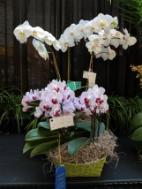 Misc Phalaenopsis